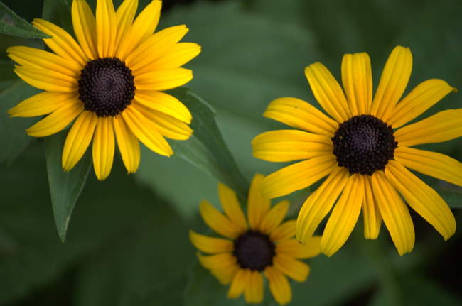 A few black-eyed susans