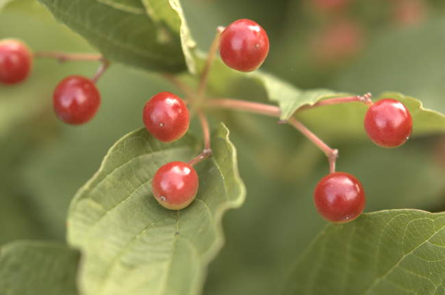 Red berries on our holly tree