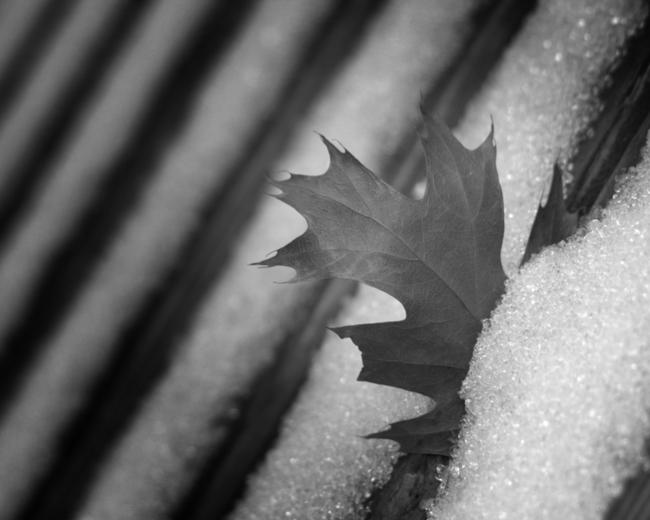 A leaf caught upright in my deck. Winter 2007.
