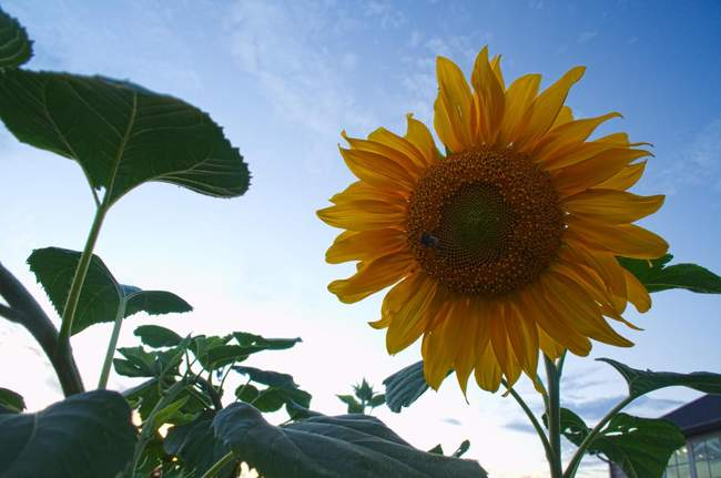 A sunflower at Heritage Farm