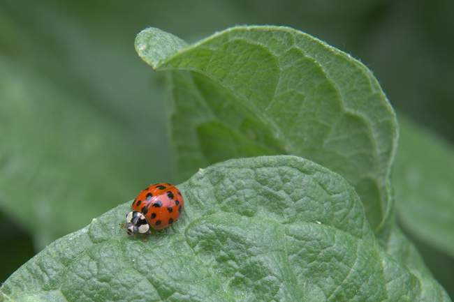 A ladybug chills out at Meadowlark Gardens